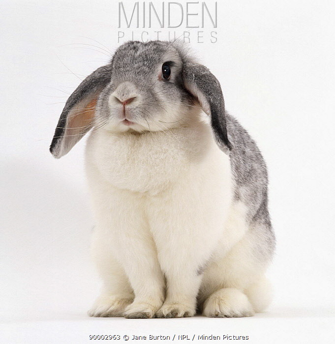 Female Silver and white French lop-eared rabbit  -  Jane Burton/ npl