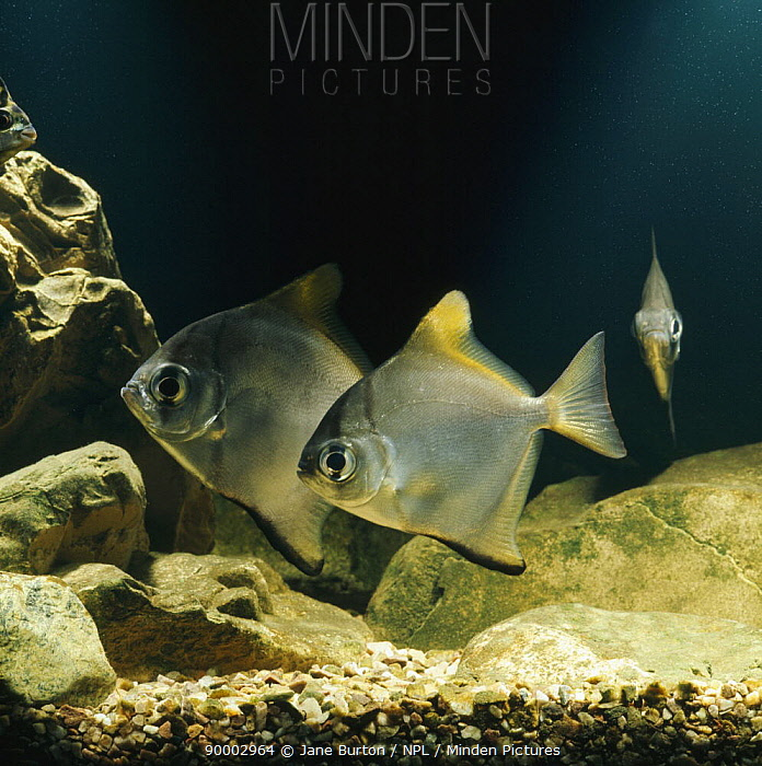 Silver moony, Fingerfish (Monodactylus argenteus) captive, from Indian ocean and West pacific  -  Jane Burton/ npl