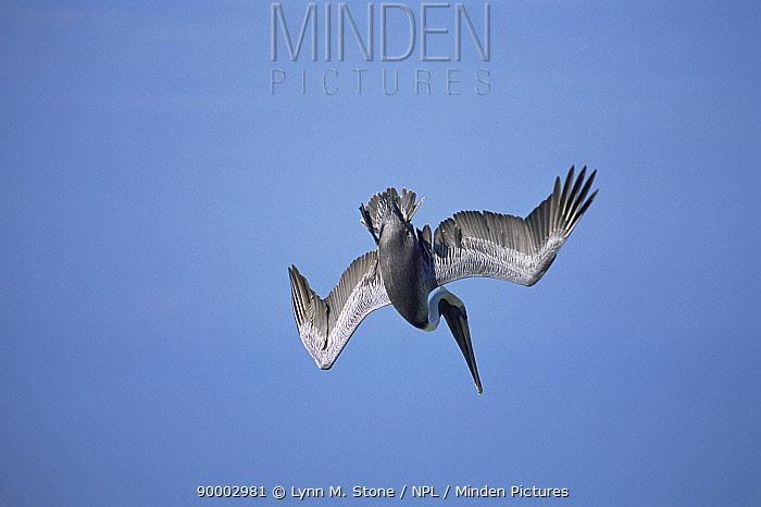 Brown Pelican (Pelecanus occidentalis) diving Florida  -  Lynn M. Stone/ npl