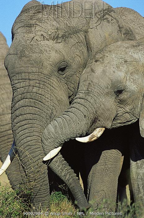 African Elephant (Loxodonta africana) Serengeti National Park, Tanzania  -  Anup Shah/ npl