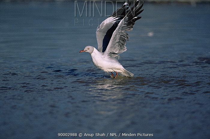 Grey-headed Gull (Larus cirrocephalus) taking-off, Lake Nakuru National Park, Kenya  -  Anup Shah/ npl