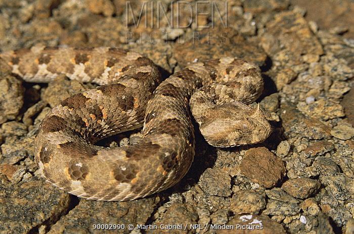 Horned Adder (Bitis caudalis) camouflaged against rocks Namib-Naukluft National Park, Namib desert, Namibia  -  Martin Gabriel/ npl