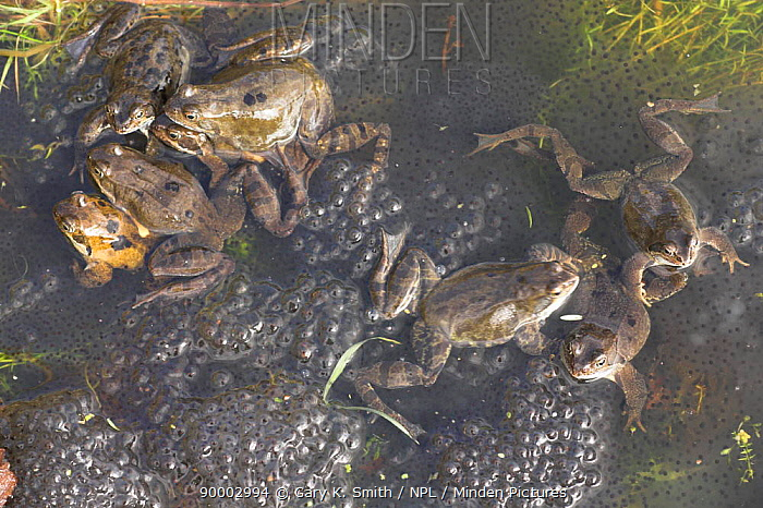 Common Frog (Rana temporaria) mating in garden pond surrounded by frogspawn, United Kingdom  -  Gary K. Smith/ npl