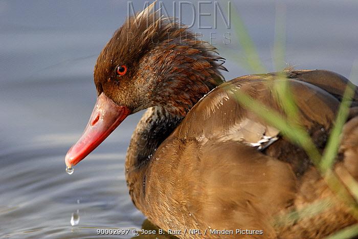 Male Red crested pochard duck (Netta ruffina) shedding plumage, Spain  -  Jose B. Ruiz/ npl