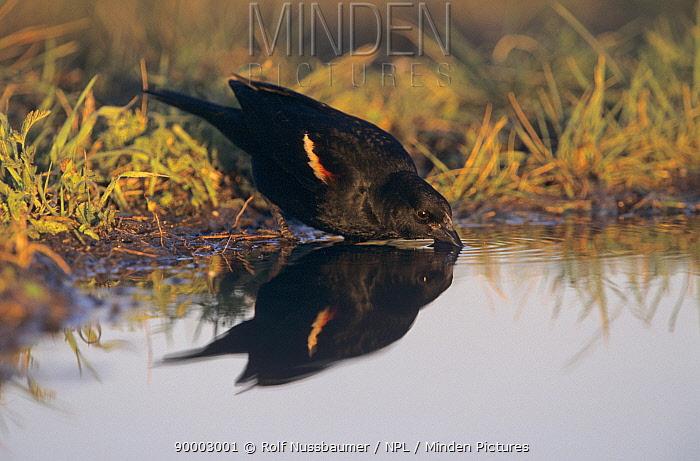 Red-winged Blackbird (Agelaius phoeniceus) male with winter plumage drinking, Welder Wildlife Refuge, Sinton, Texas  -  Rolf Nussbaumer/ npl