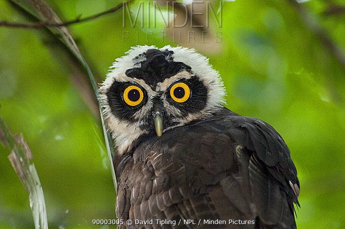 Spectacled Owl (Pulsatrix perspicillata) juvenile portrait, Panama  -  David Tipling/ npl