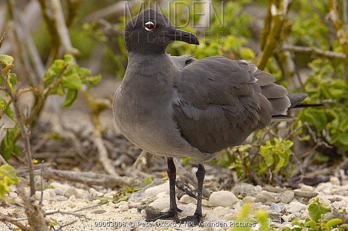 Lava Gull (Larus fuliginosus) Isabela Is, Galapagos,, rarest gull in the world  -  Pete Oxford/ npl
