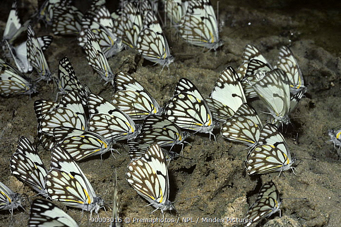 Brown Veined White Butterfly (Anaphaeis aurota) drinking from damp ground in desert while on migration, South Africa  -  Premaphotos/ npl