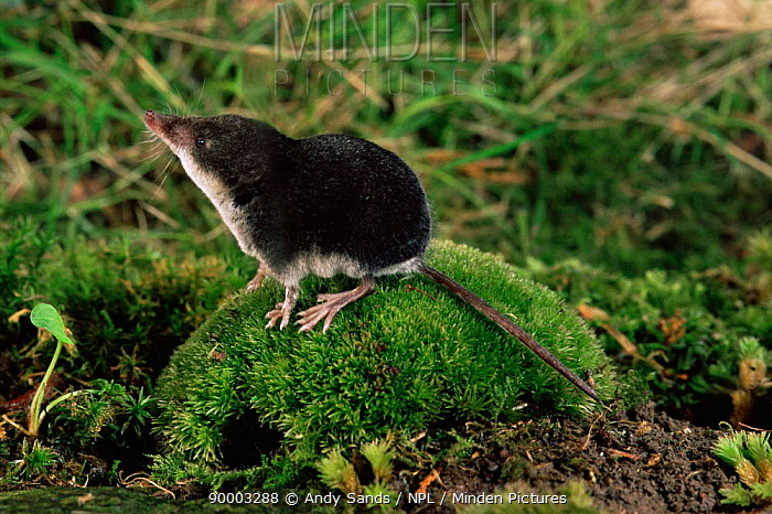 Eurasian Water Shrew (Neomys fodiens) on moss covered rock smelling the air Captive United Kingdom  -  Andy Sands/ npl