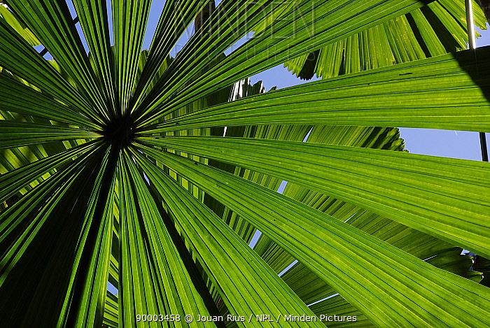 Licuala fan palm (Licuala ramsayi), Tam O'Shanter National Park, Queensland, Australia  -  Jouan & Rius/ npl