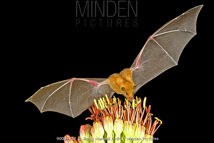 Southern Long-nosed Bat (Leptonycteris curasoae) feeding on nectar, Chiricahua Mts, Arizona  -  Barry Mansell/ npl