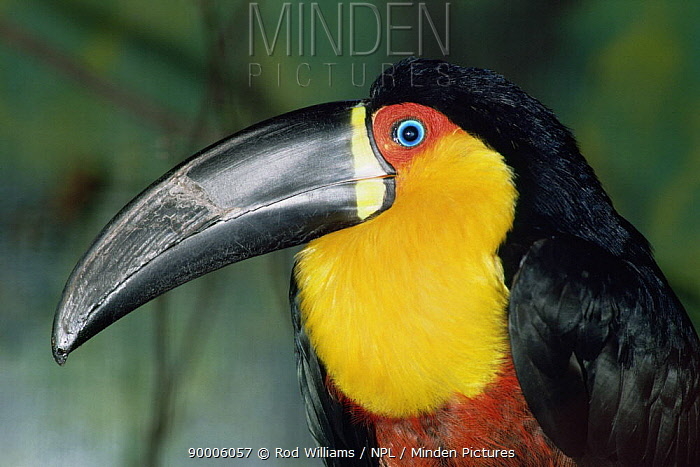 Ariel Toucan (Ramphastos vitellinus ariel) captive, from Brazil  -  Rod Williams/ npl