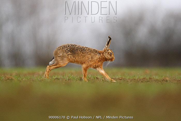 European Hare (Lepus europaeus) crossing field, Derbyshire, United Kingdom  -  Paul Hobson/ npl