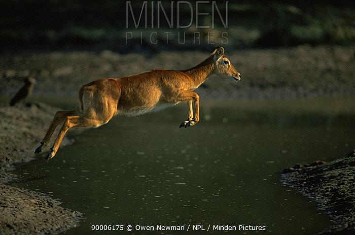 Puku (Kobus vardoni) female jumping water, Southern Luangwa NP, Zambia  -  Owen Newman/ npl
