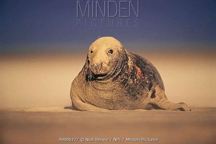 Grey Seal (Halichoerus grypus) bull in sand storm Lincolnshire, United Kingdom BRUNEL  -  Niall Benvie/ npl
