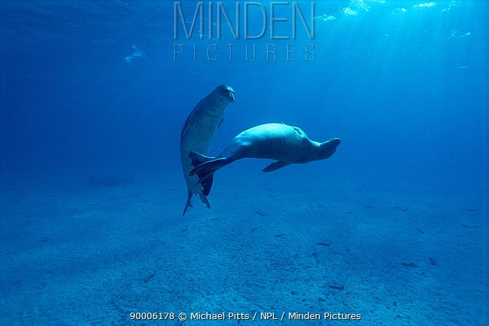 Hawaiian Monk Seal (Monachus schauinslandi) Midway Is, Pacific Ocean  -  Michael Pitts/ npl