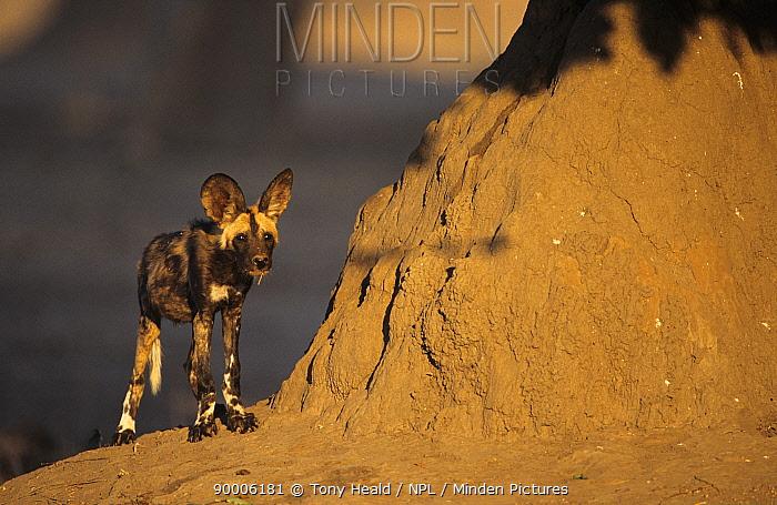 African Wild Dog (Lycaon pictus) young Mana Pools National Park, Zimbabwe  -  Tony Heald/ npl