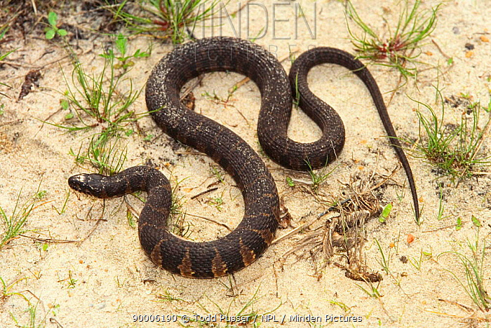 Carolina salt marsh snake (Nerodia sipedon williamengelsi) North Carolina, USA  -  Todd Pusser/ npl