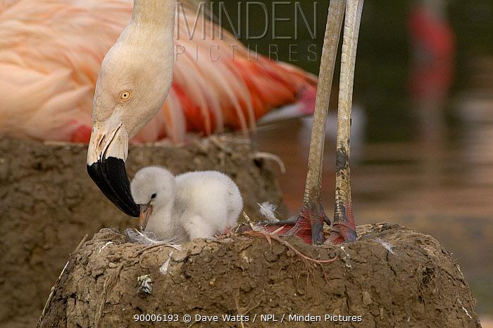 Chilean Flamingo (Phoenicopterus chilensis) tending chick on nest, WWT, Slimbridge, United Kingdom  -  Dave Watts/ npl
