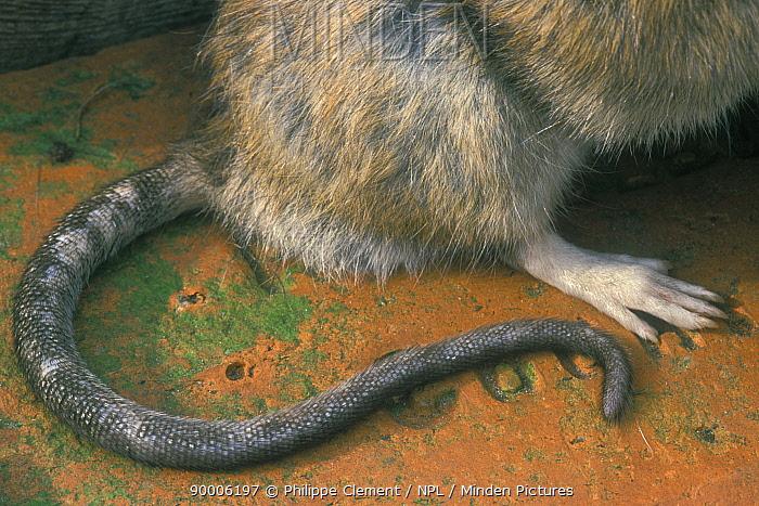 Brown Rat (Rattus norvegicus) tail and foot Belgium  -  Philippe Clement/ npl