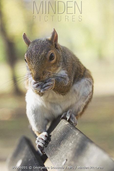 Eastern Gray Squirrel (Sciurus carolinensis) feeding on park bench, United Kingdom  -  Georgette Douwma/ npl