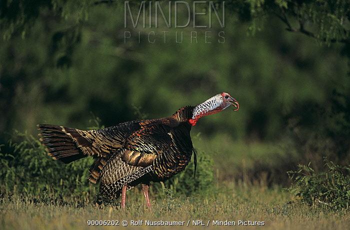 Wild Turkey (Meleagris gallopavo) male Welder Wildlife Refuge, Sinton, Texas  -  Rolf Nussbaumer/ npl