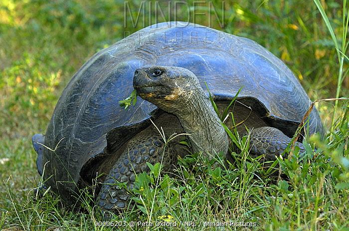 Galapagos Giant Tortoise (Geochelone elephantopus porteri) Highlands, Santa Cruz Island, Galapagos Islands  -  Pete Oxford/ npl