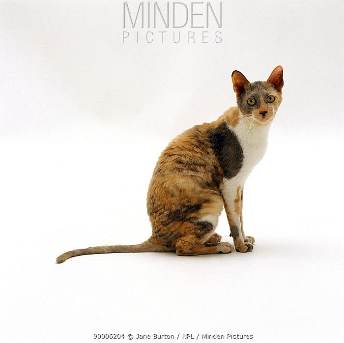 Domestic Cat (Felis catus) blue-cream-and-white Cornish Rex female 'Faberge'  -  Jane Burton/ npl