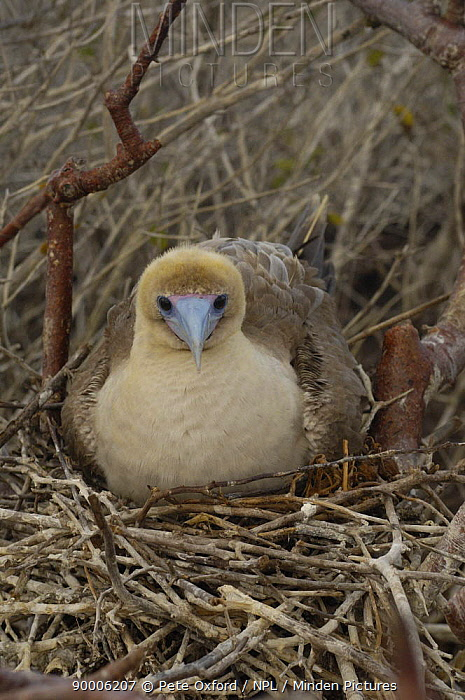 Red-footed Booby (Sula sula) on nest in trees, Tower, Genovesa Is, Galapagos, Ecuador  -  Pete Oxford/ npl