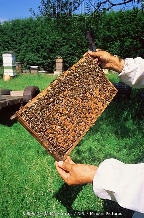 Honey Bee (Apis mellifera) on honeycomb held by beekeper, United Kingdom  -  Mark Yates/ npl