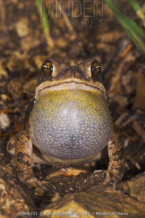 Gulf Coast Toad (Bufo valliceps) male calling at night, vocal sac inflated, Hill Country, Texas  -  Rolf Nussbaumer/ npl