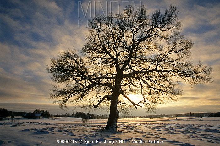 English Oak (Quercus robur) in winter Sweden  -  Bjorn Forsberg/ npl