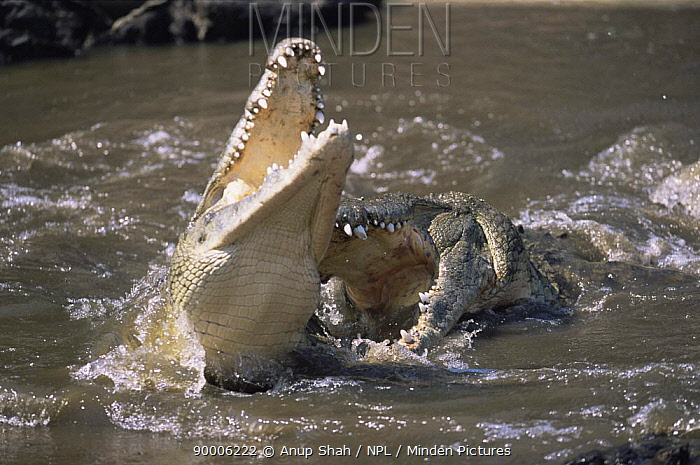 Nile Crocodile (Crocodylus niloticus) male (on right, named Bwana Kuba) sees off male intruder, who arches back and opens mouth in submission, Grumeti River, Serengeti National Park, Tanzania  -  Anup Shah/ npl