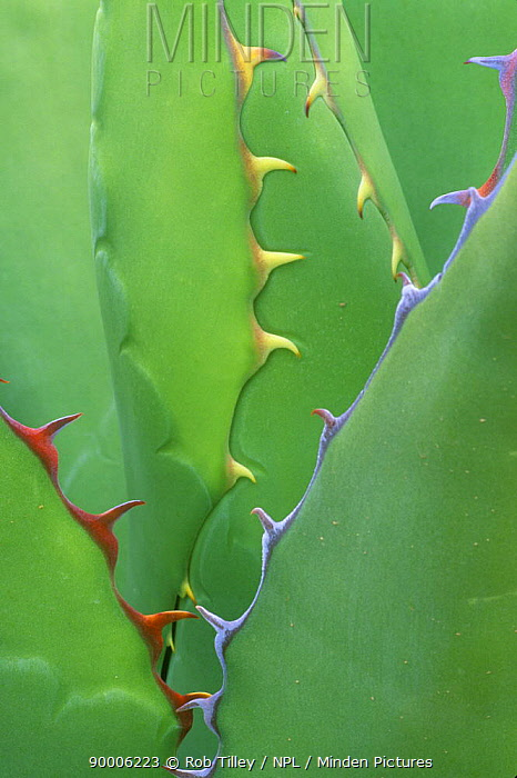 Agave (Agave genus) close-up, Desert Botanical Museum, Phoenix, Arizona  -  Rob Tilley/ npl