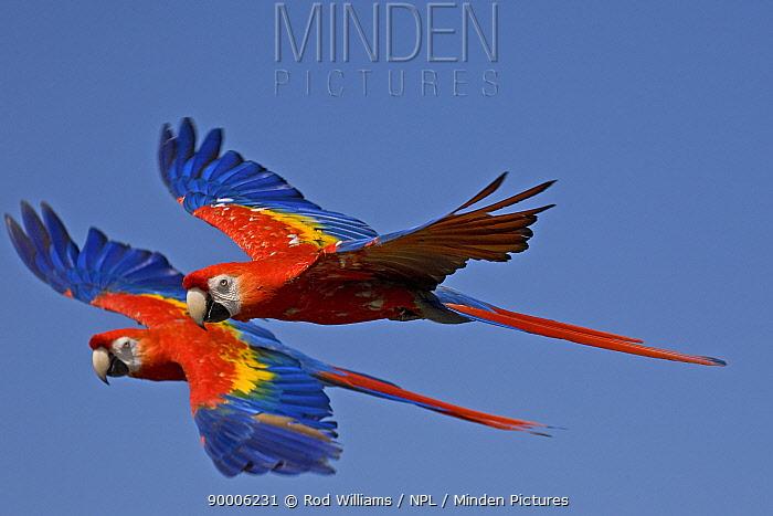 Scarlet Macaw (Ara macao) in flight  -  Rod Williams/ npl