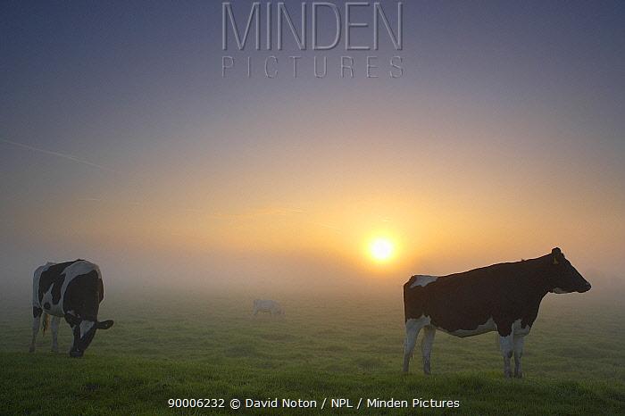Cows on the Somerset Levels at dawn, Somerset, England, UK (NR)  -  David Noton/ npl