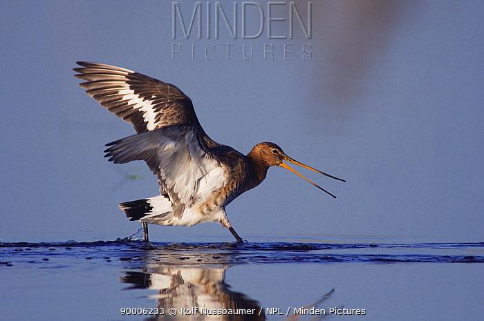 Black-tailed Godwit (Limosa limosa) adult running through water calling, breeding plumage, Lake Neusiedl, Austria  -  Rolf Nussbaumer/ npl