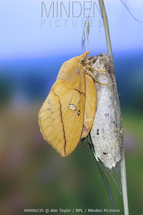 Drinker Moth (Philudoria potatoria) female recently emerged from pupa, Surrey, UK  -  Kim Taylor/ npl