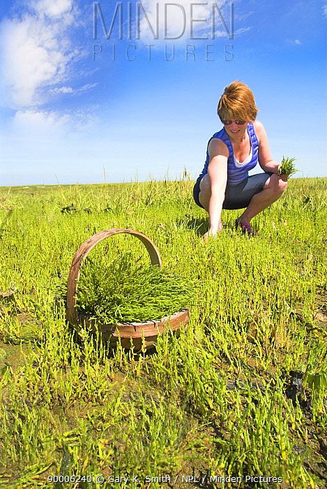 Woman picking Samphire, Glasswort (Salicornia sp) North Norfolk saltmarshes, England, UK, August  -  Gary K. Smith/ npl