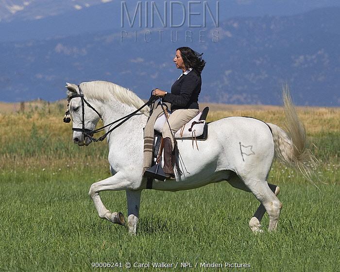 Woman riding Grey half Andalusian gelding practising Passage dressage step, Longmont, Colorado, USA, model released  -  Carol Walker/ npl