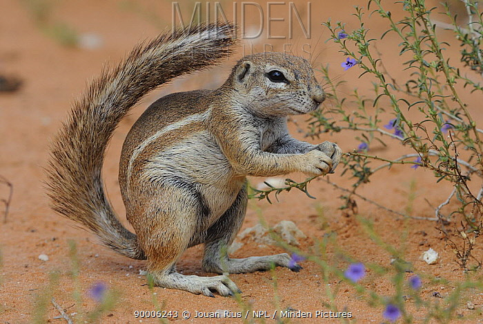 Cape Ground Squirrel (Xerus inauris) feeding on flowers during the rainy season, Kgalagadi Transfrontier Park, Kalahari desert, South Africa  -  Jouan & Rius/ npl