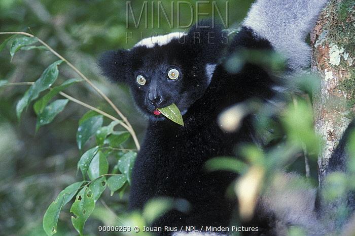 Indri (Indri indri) feeding, tropical rainforest, Andasibe-Mantadia National Park, Madagascar  -  Jouan & Rius/ npl