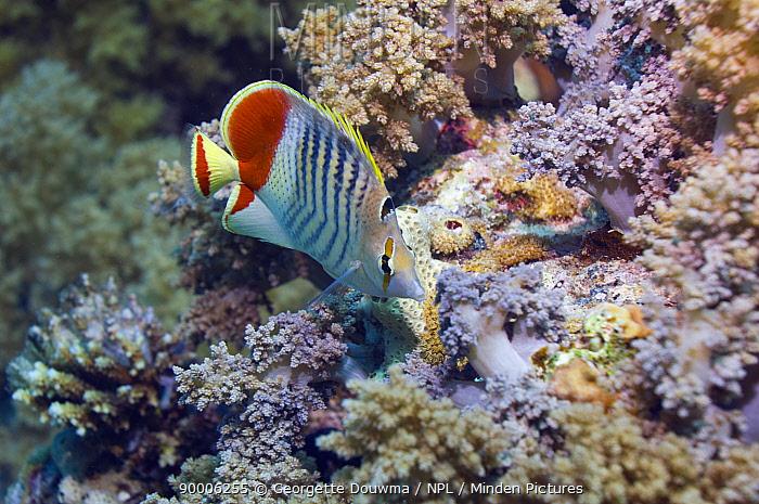 Crown butterflyfish (Cheatodon paucifasciatus) on reef Red Sea, Egypt  -  Georgette Douwma/ npl