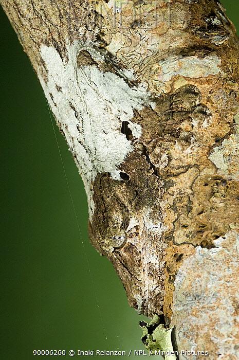 Leaf-tailed Gecko (Uroplatus sikorae) well camouflaged on tree, Andasibe-Mantadia National Park, Analamazaotra, Madagascar  -  Inaki Relanzon/ npl