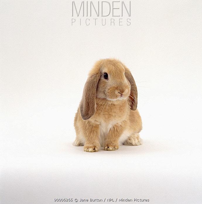 Young sandy lop-eared rabbit, nine-weeks, with drooping years  -  Jane Burton/ npl