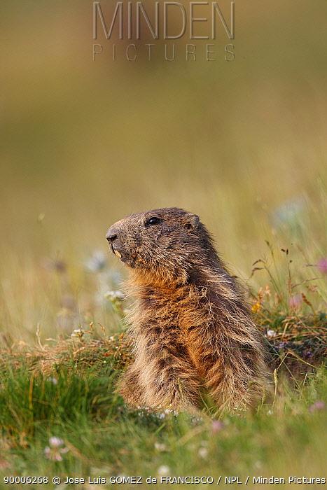 Alpine Marmot (Marmota marmota) at burrow entrance, Pyrenees, Spain  -  Jose Luis Gomez De Francisco/ np
