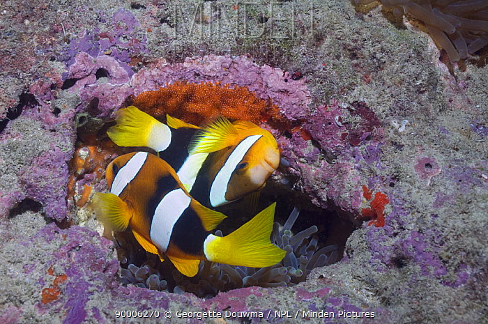 Clark's Anemonefish (Amphiprion clarkii) spawning, with freshly laid eggs, Papua New Guinea  -  Georgette Douwma/ npl
