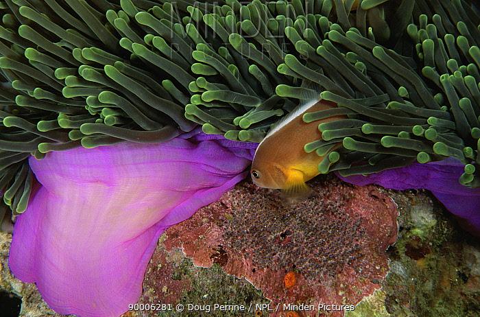 Skunk Anemonefish (Amphiprion akallopisos) eggs in Magnificent anemone, Thailand  -  Doug Perrine/ npl