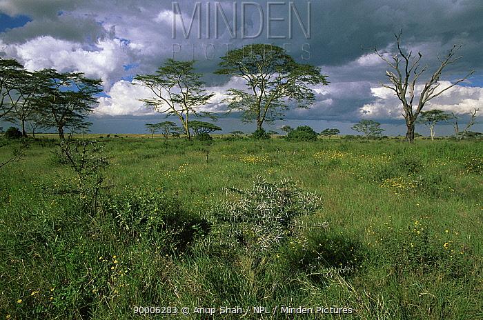Serengeti National Park scenic with Acacia trees and grass, Tanzania  -  Anup Shah/ npl