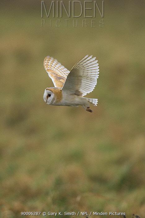 Barn Owl (Tyto alba) in flight over rough grassland set-aside, Norfolk, United Kingdom  -  Gary K. Smith/ npl